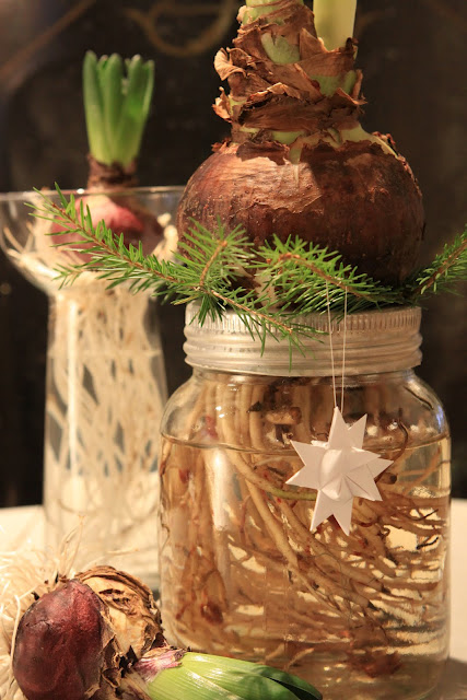 Amaryllis Flower Bulb & Mason Jar Christmas Decoration