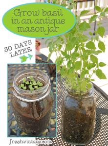 How to grow basil in a Mason jar
