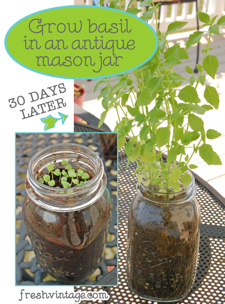 Grow Basil in a Mason Jar